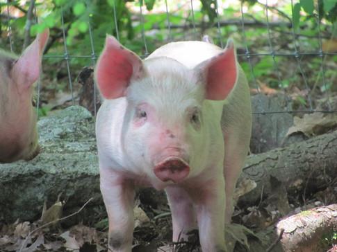 New Pigs 009.JPG
