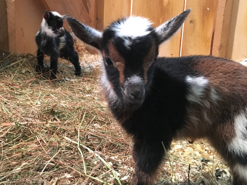 up close face to face baby goat.JPG