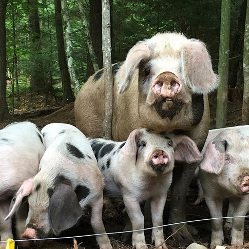 The crew waiting for dinner. Roxanne and her piglets.jpg