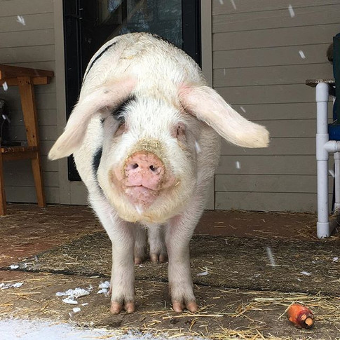 Rosie's ready for the storm.  She has her carrots, straw, hot water, and all on the front porch of grandma and grandpas house.jpg