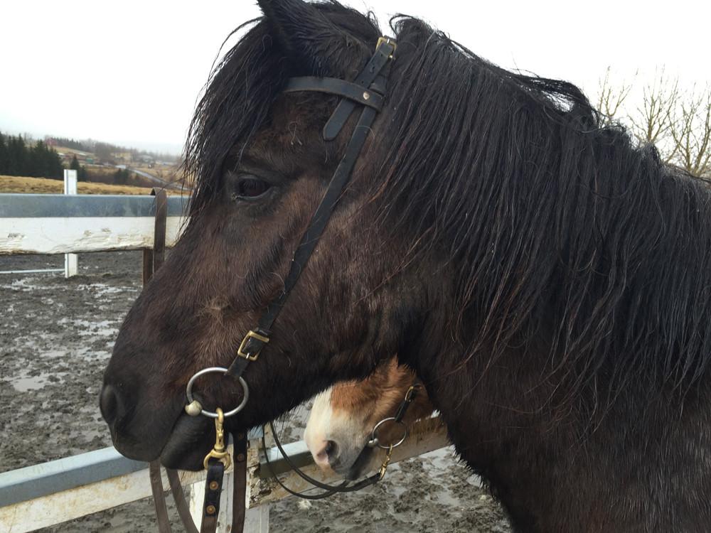 Icelandic horse [Striga]
