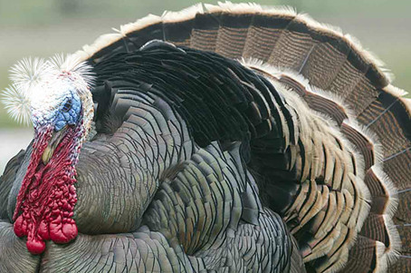 Festive Flash Fiction Day 20: Tess and the Turkey
