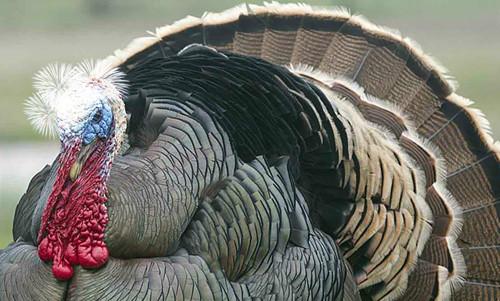 turkey trump