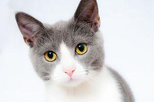 cat-GREY AND WHITE.jpeg