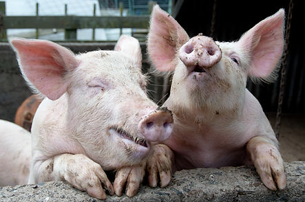 pigs laughing and joking_Depositphotos_1