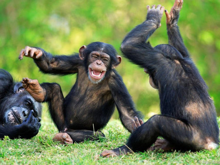 Good News The Chimps Knew Before We Did