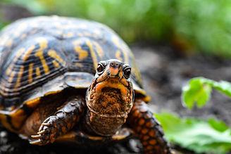 close-up-photo-of-turtle-2613148 (1).jpg
