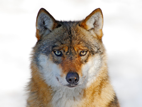 Wolf Wisdom To Remember When Things Don't Work Out