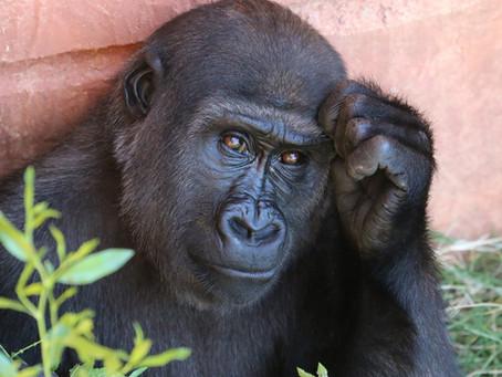 A Gorilla's View on Romantic Love