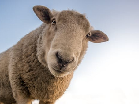 Self Love Part 3 -What A Sheep Can Teach Us