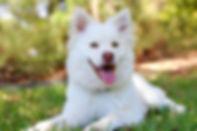 white husky dog.jpg
