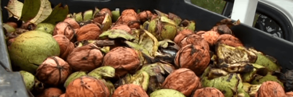 Organic walnuts in their green shells are transported to peeling