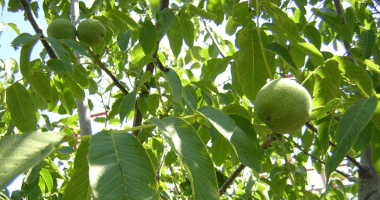 Our organic walnuts ripen on the tree