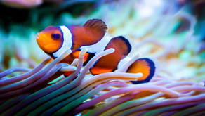 Loosing Nemo: The Story of A Transgender Fish