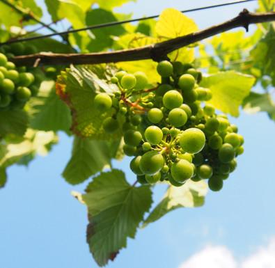 03_grape_look_up_chronow_P1010036%20Gosi