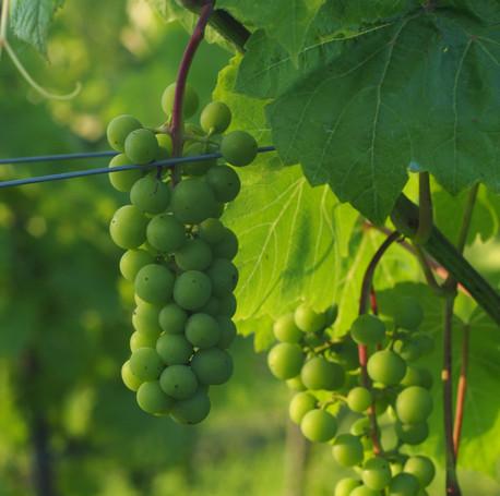 02_green_grape_Chronow_P1010100%20Gosia%