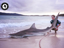Tackle International Dusky Shark