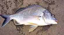 Jetty Bream Fishing