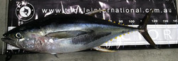 Tackle International Yellowfin Tuna