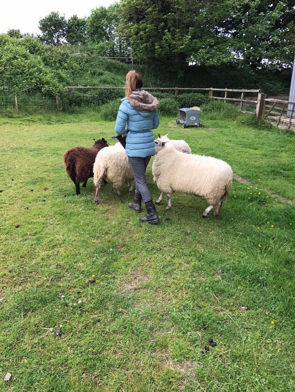 My Pet Sheep