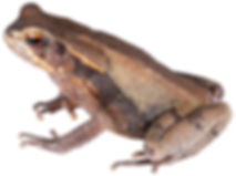Rhaebo haematiticus