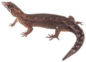 Peudogonatodes peruvianus