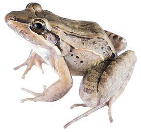 Lectodactylus insularum
