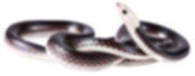 Enuliophis sclateri