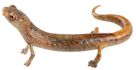 Bolitoglossa yariguiensis