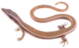 Anadia ocellata