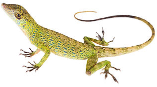 Anolis frenatus