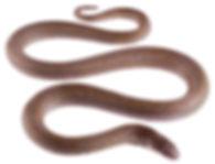 Stenorrhina degenhardtii