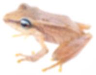 Pristimantis acutirostris