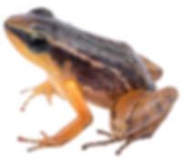 Hyloxalus arliensi