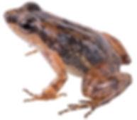 Colostethus inguinalis
