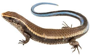 Tretioscincus bifasciatus