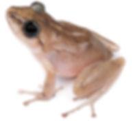 Pristimantis carlossanchezi
