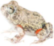 Pleurodema brachiops