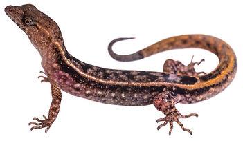 Lepidoblepharis xanthostigma