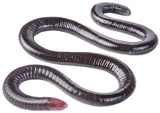 Microcaecilia nicefori
