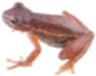 Dendropsophus virolinensis