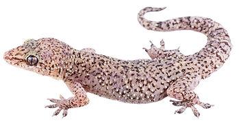 Hemidactylus angulatus