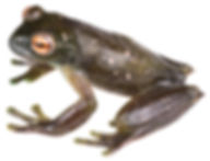 Hyloscirtus piceigularis