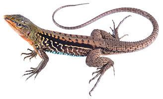 Holcosus niceforoi