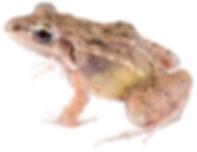 Leptodactylus fragilis
