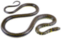 Erythrolamprus epinephelus