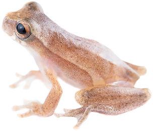 Dendropsophus subocularis
