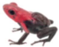 Andinobates virolinensis