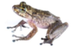 Cryptobatrachus fuhrmanni