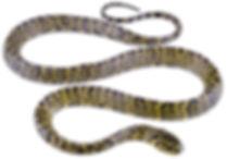 Plesiodipsas perijanensis